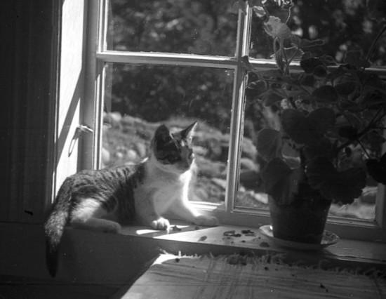 Katt fotograferad krigssommaren 1940